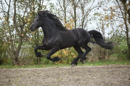 Perfect friesian stallion running on sand in autumn