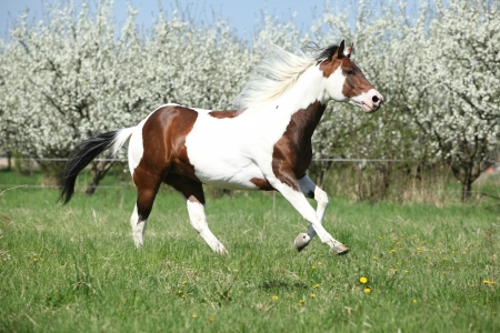 Beautiful paint horse running in front of flowering plum trees in spring Stock Photo