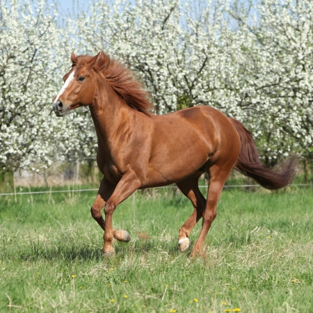 Chestnut Quarter horse running in front of flowering trees in spring photo