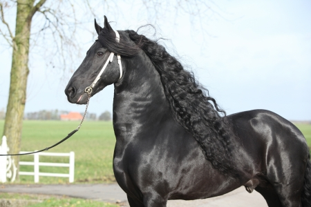 Gorgeous friesian stallion with long hair and white bridle photo
