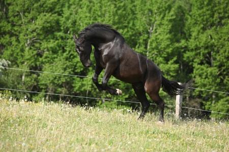 zwart Kladruber paard te springen in het verleden bloesem paardebloemen in het voorjaar