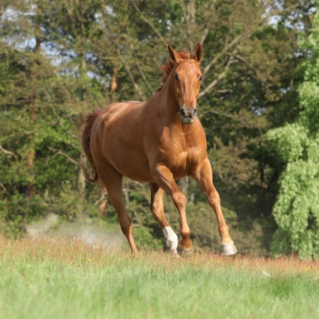 Nice chestnut horse running in freedom and making the dust in summer Stockfoto