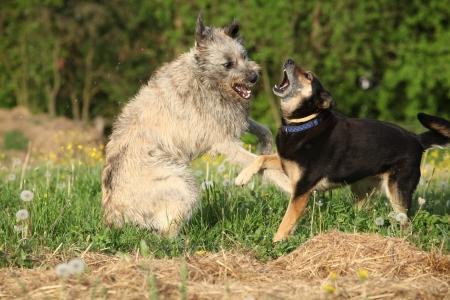 fighting dog: Due cani in lotta con l'altro in erba verde