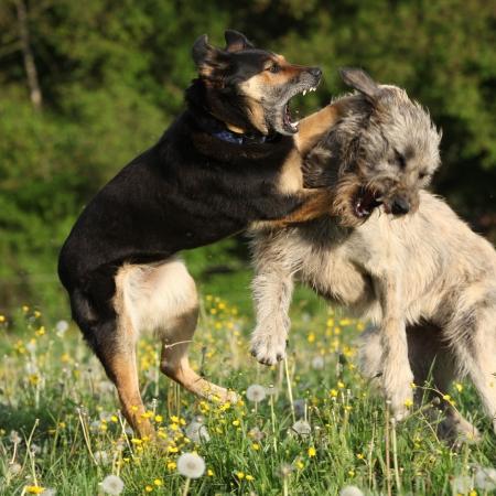 Deux chiens se battre avec l'autre dans les fleurs jaunes et fleurs de pissenlits dernières