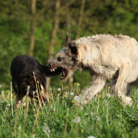 Irish wolfhound attacking some brown dog in past blossom dandelions