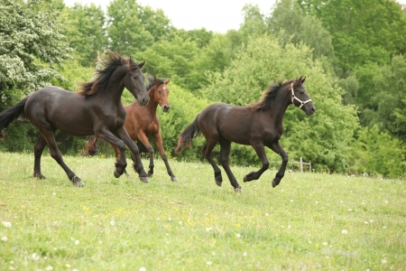 Two black and one brown horses running in nature with some trees on the background