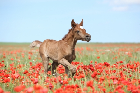 Arabian foal running in red poppy field in spring photo