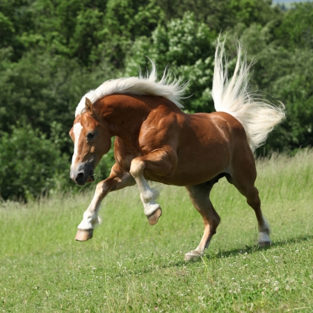 Angry haflinger stallion jumping in nature in summer