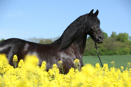 halter: Friesian horse with halter behind yellow flowers Stock Photo