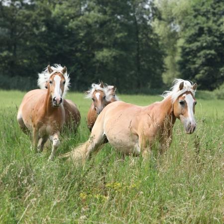 batch: Lote de caballos casta�os corriendo juntos en la hierba alta en la libertad