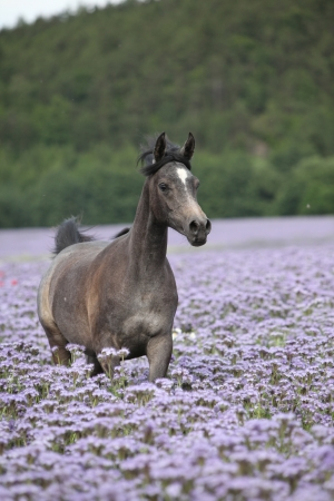 Arabian horse running in purple flowers in spring photo