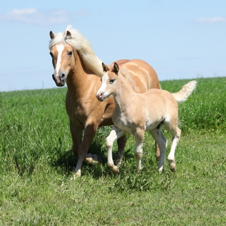 Beautiful haflinger mare with a foal on pasturage