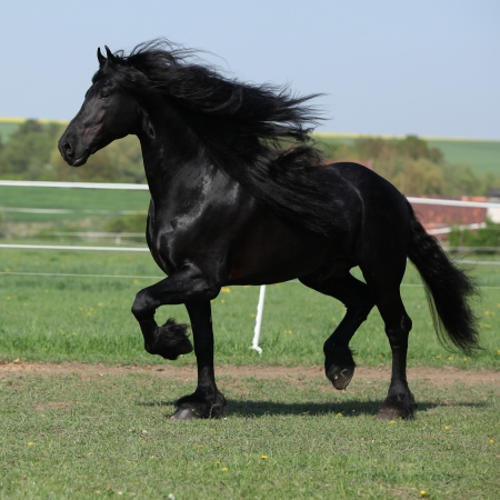 Gorgeous friesian stallion with long mane running on pasturage in spring Stockfoto