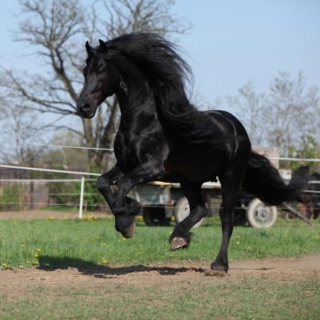 black horse: Precioso semental frisón con una larga melena que se ejecuta en los pastos en primavera