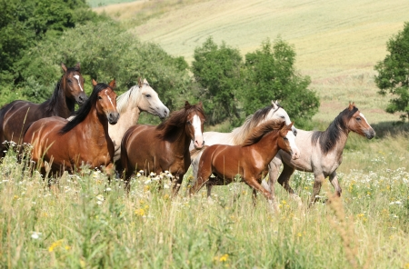 Batch of horses running in flowers on pasturage Stock Photo