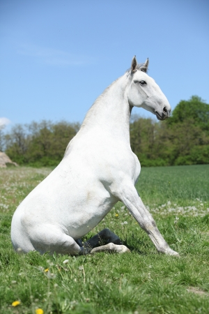 lipizzaner: Super white sitting horse in nature in front of some trees