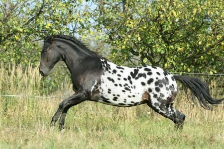 appaloosa: Beautiful appaloosa stallion running on pasturage in autumn