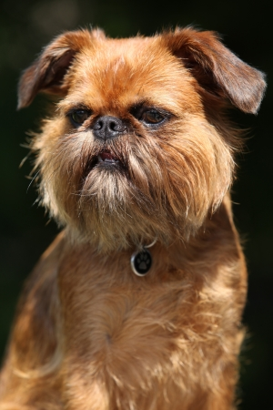 brussels griffon: Portrait of young Brussels Griffon in front of dark background