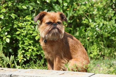 brussels griffon: Young Brussels Griffon in front of green background
