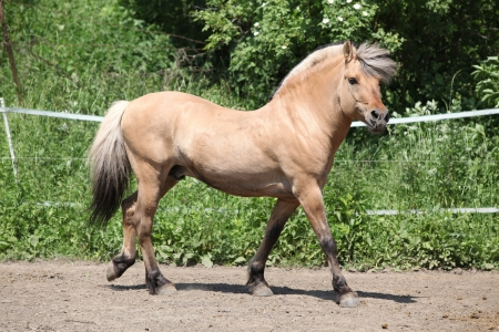 inaction: Beautiful fjord pony stallion moving in paddock