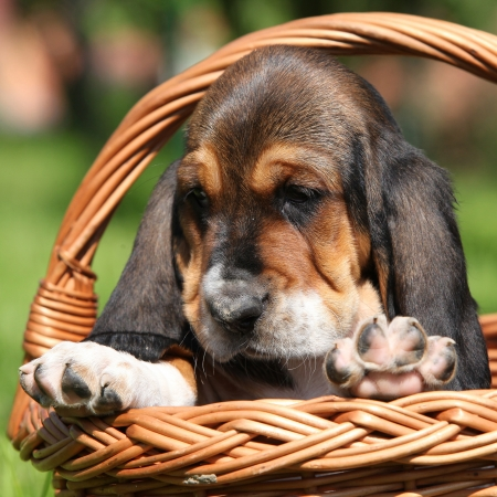 vigilant: Adorable puppy of basset hound in brown basket
