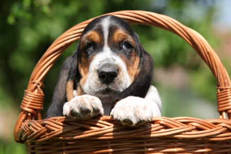 Adorable puppy of basset hound in brown basket photo