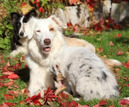 bitch: Border collie perra con el perrito en oto�o Foto de archivo