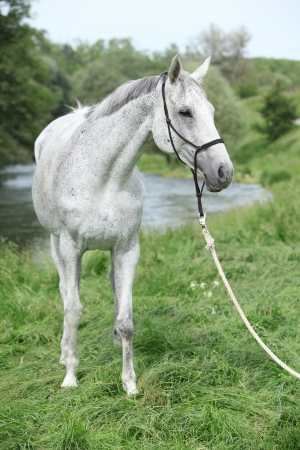inaction: Nice White English Thoroughbred horse in front of river