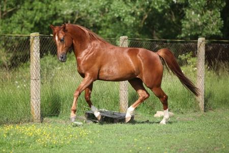 Nizza Kastanie arabischen Pferd läuft im Fahrerlager im Frühjahr