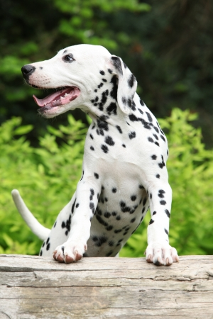 Gorgeous dalmatian puppy smiling on some stock in the garden Stock Photo