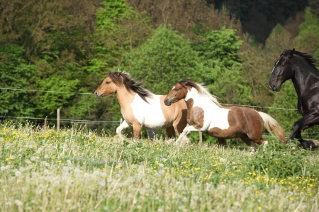 piebald: Two ponnies running before black kladruber on pasturage with past blossom dandelion