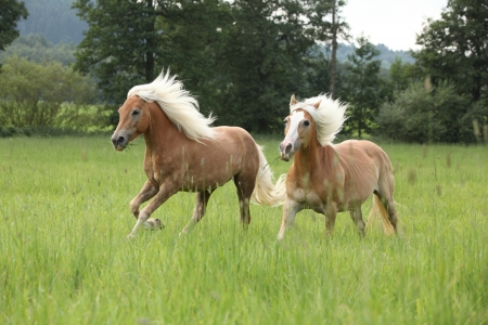 Two chestnut horses with blond flying mane running in nature