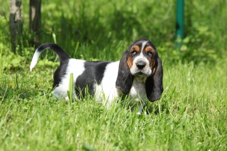 basset hound: Adorable puppy of basset hound looking directly at you