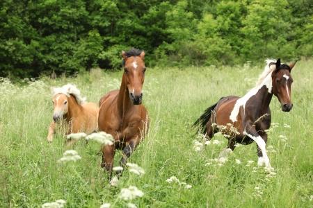 skewbald: Batch of horses, chestnut, brown and skewbald, running on pasturage Stock Photo