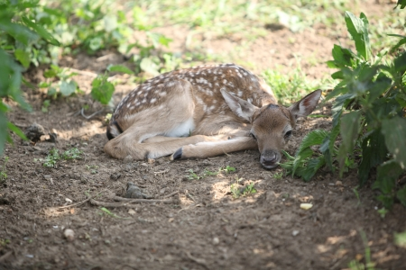 Young small buck lying down in the shadow