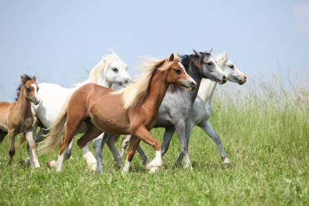 batch: Batch of nice welsh ponnies running together on green pasturage