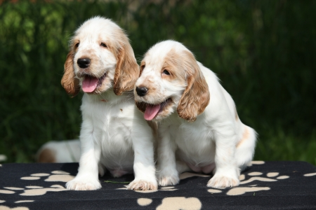 Gorgeous English Cocker Spaniel puppies sitting on black blanket photo