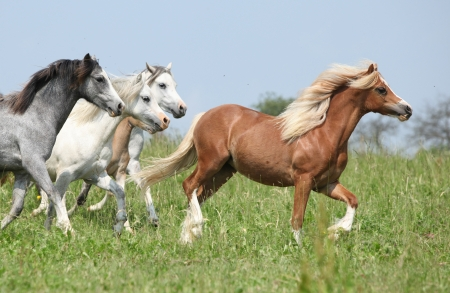 batch: Batch of horses with chestnut one in the lead running on pasturage