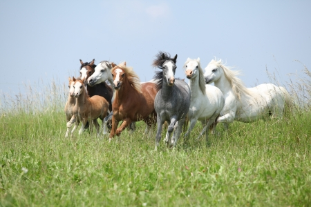 batch: Lotes de buenos ponnies gal�s corriendo juntos en pastos verdes Foto de archivo
