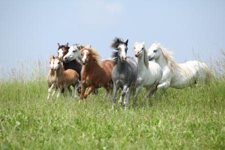 Partij van mooie welsh ponnies lopen samen op groene weide Stockfoto