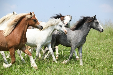 Batch of young welsh ponnies running together on green pasturage