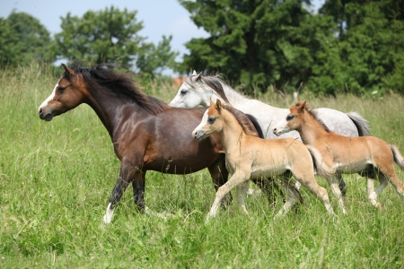 Nice mares and foals running on green pasturage