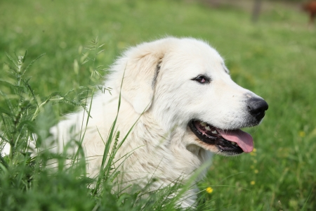 Pyrenean Mountain Dog smiling and lying in the grass