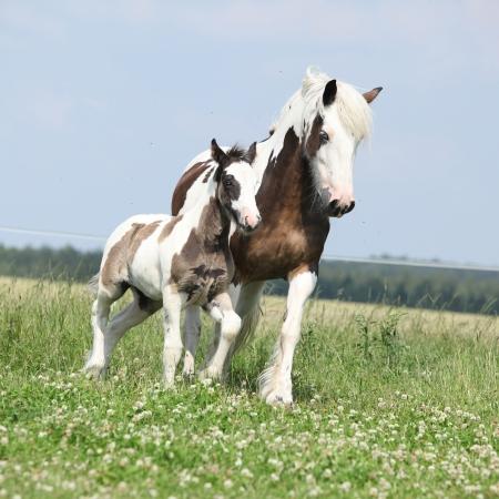 skewbald: Nice skewbald irish cob mare with foal running on pasturage Stock Photo