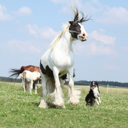 Irish cob and border collie jumping together on pasturage
