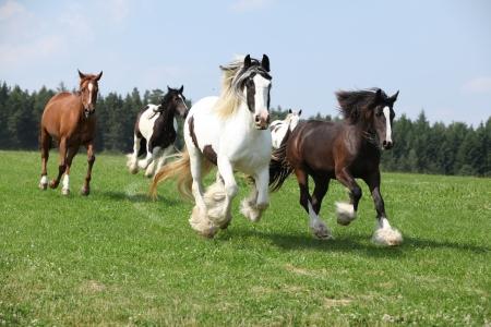 Batch of nice irish cobs running in freedom