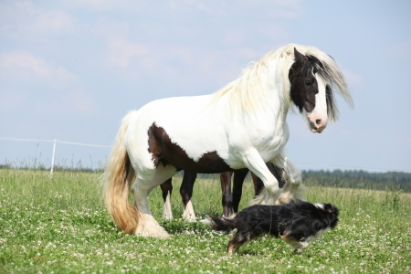 Nice irish cob playing with border collie on pasturage photo