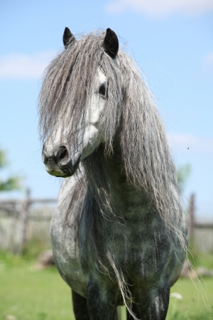 inaction: Portrait of nice grey welsh pony on pasturage in summer Stock Photo