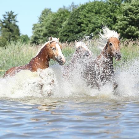 batch: Lotes de buenos haflingers saltando en el agua