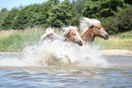 batch: Lote de haflingers rubios corriendo en el agua